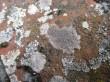 img_0933-lichen